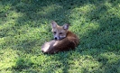 Fox Laying Down